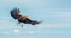 белизна замкнутая орлом Стоковое Фото