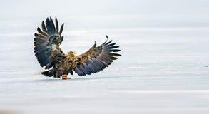 белизна замкнутая орлом Стоковая Фотография