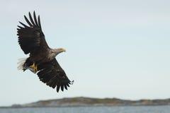 Белизна замкнула орла моря Стоковая Фотография