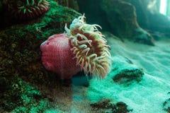 Белизна запятнала розовое lofotensis Urticina ветреницы Стоковое фото RF