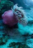 Белизна запятнала розовое lofotensis Urticina ветреницы Стоковая Фотография RF