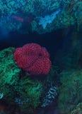 Белизна запятнала розовое lofotensis Urticina ветреницы Стоковые Фотографии RF