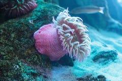 Белизна запятнала розовое lofotensis Urticina ветреницы Стоковые Фото
