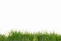 белизна зеленого цвета травы предпосылки изолированная Стоковые Фотографии RF