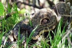 белизна змейки иллюстрации предпосылки ядовитая Стоковые Фотографии RF