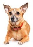 белизна игрушки terrier предпосылки русская Стоковая Фотография