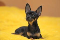 белизна игрушки terrier предпосылки русская Стоковое Изображение