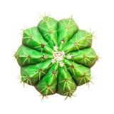 белизна изолированная кактусом Стоковые Изображения