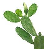 белизна изолированная кактусом Стоковая Фотография
