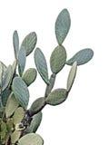 белизна изолированная кактусом Стоковое фото RF