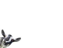 белизна изолированная козочкой Стоковое Изображение RF