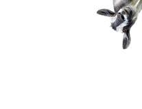 белизна изолированная козочкой Стоковые Изображения RF