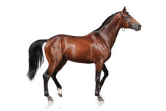 белизна изолированная лошадью Стоковое фото RF
