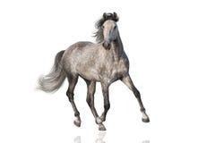 белизна изолированная лошадью стоковое изображение