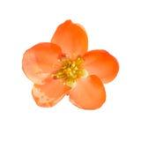 белизна изолированная цветком красная Стоковые Изображения