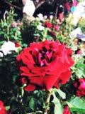 белизна изолированная цветком Стоковое Изображение RF