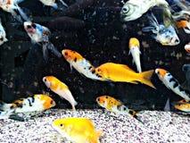 белизна изоляции золота рыб Стоковое Изображение RF