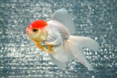 белизна изоляции золота рыб стоковые фотографии rf