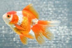 белизна изоляции золота рыб стоковое фото