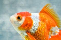 белизна изоляции золота рыб стоковые изображения rf