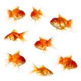белизна изоляции золота рыб Стоковое фото RF