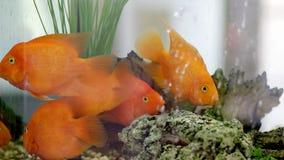 белизна изоляции золота рыб сток-видео