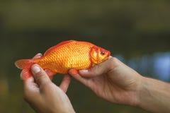 белизна изоляции золота рыб Стоковая Фотография RF