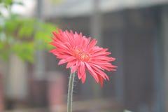 белизна изоляции gerbera цветка Стоковые Изображения