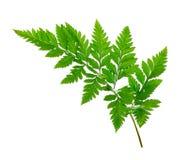 белизна листьев папоротника предпосылки изолированная зеленым цветом Стоковые Изображения RF