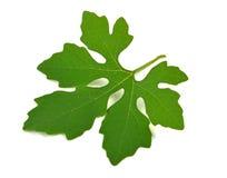 белизна листьев предпосылки зеленая Стоковое Изображение RF