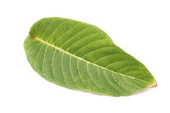 белизна листьев предпосылки изолированная зеленым цветом стоковая фотография