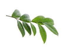 белизна листьев предпосылки изолированная зеленым цветом Стоковые Фотографии RF