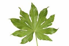 Белизна лист красивой формы ладони тропическая Стоковая Фотография