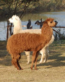Белизна и коричневый цвет Стоковая Фотография