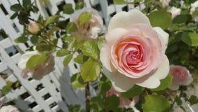 Белизна и пинк Роза на праве Стоковые Фото