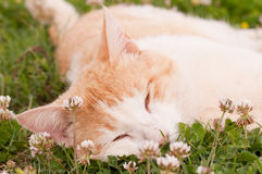 Белизна и спать кота имбиря Стоковая Фотография RF