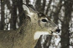 белизна кабеля оленей самеца оленя Стоковое Изображение