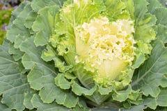 Белизна капусты Стоковые Фото