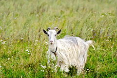 Белизна козы в траве Стоковое Изображение