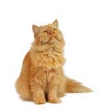 белизна кота предпосылки красная стоковые фотографии rf