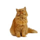 белизна кота предпосылки красная Стоковое фото RF