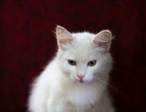 Белизна котенка в стуле дальше Стоковое Фото