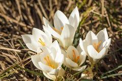 Белизна крокуса нескольких blossoming цветков Стоковое Изображение