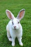 белизна кролика Стоковые Изображения RF