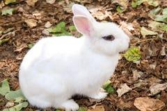 белизна кролика Стоковые Изображения