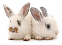 белизна кроликов 2 Стоковое Изображение RF
