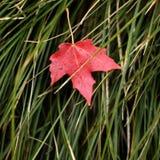 белизна клена листьев осени изолированная предпосылкой Стоковое Фото