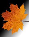 белизна клена листьев осени изолированная предпосылкой Стоковые Фото