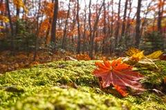 белизна клена листьев осени изолированная предпосылкой Стоковые Изображения RF