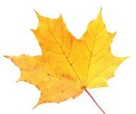 белизна клена листьев осени изолированная предпосылкой Стоковая Фотография
